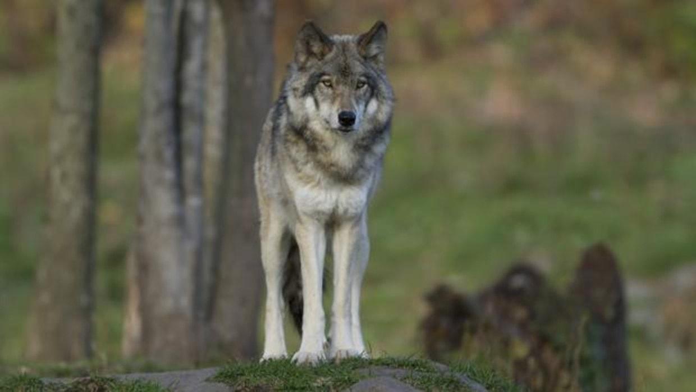 Lobo en naturaleza