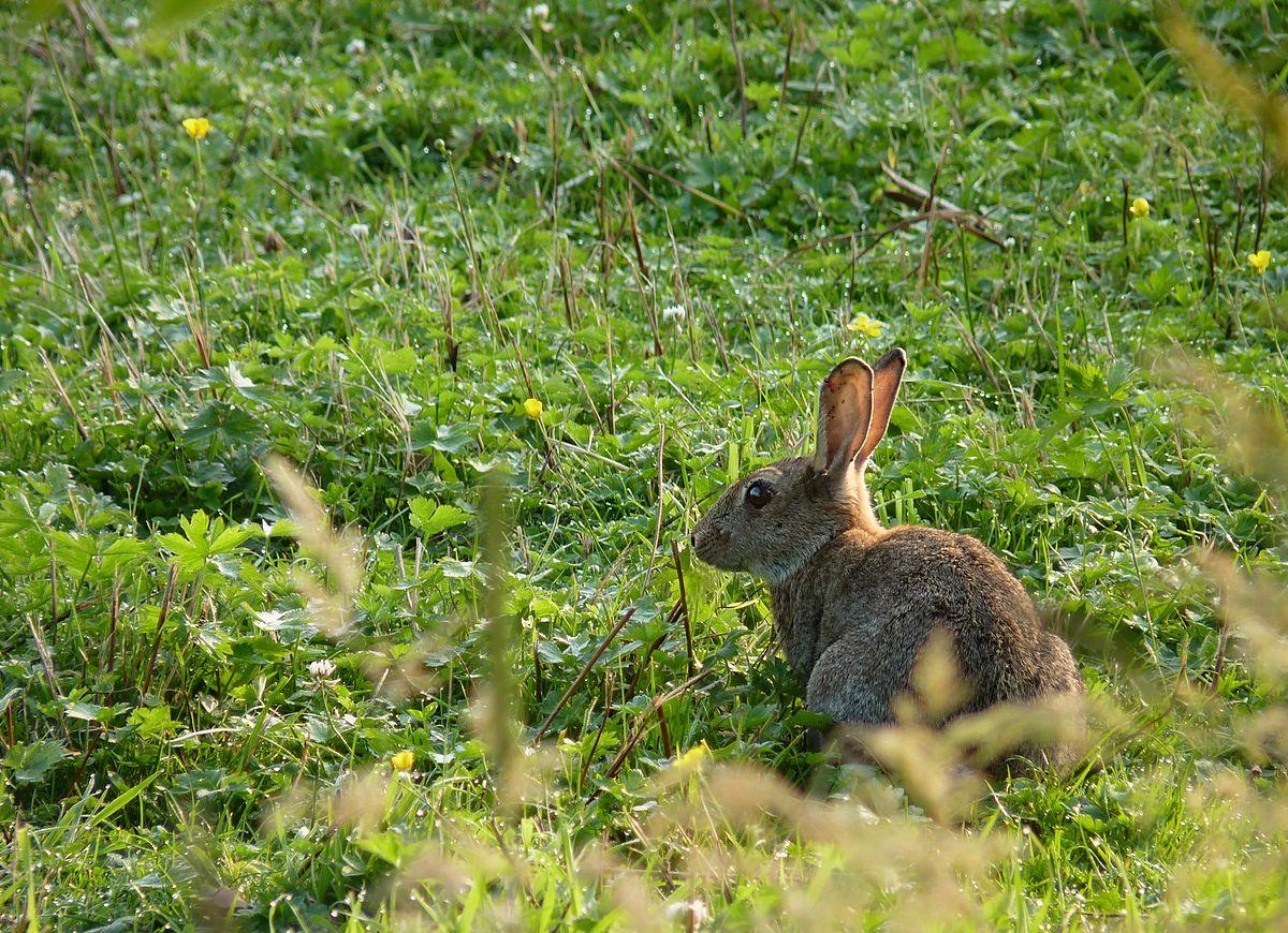conejo en el campo