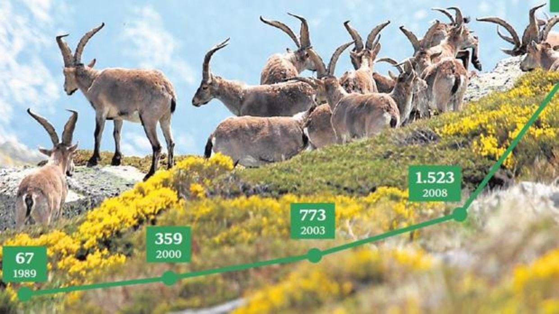 Gráfico cabras monteses en Guadarrama