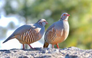 Aves cinegéticas