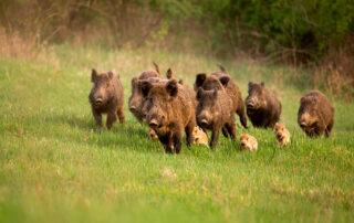 piara de jabalíes, la caza es una actividad esencial