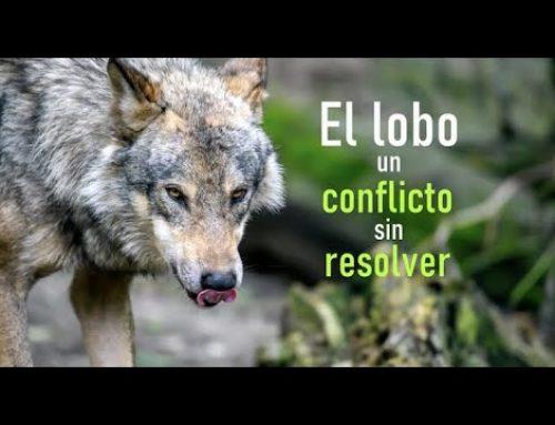 El lobo. Un conflicto sin resolver