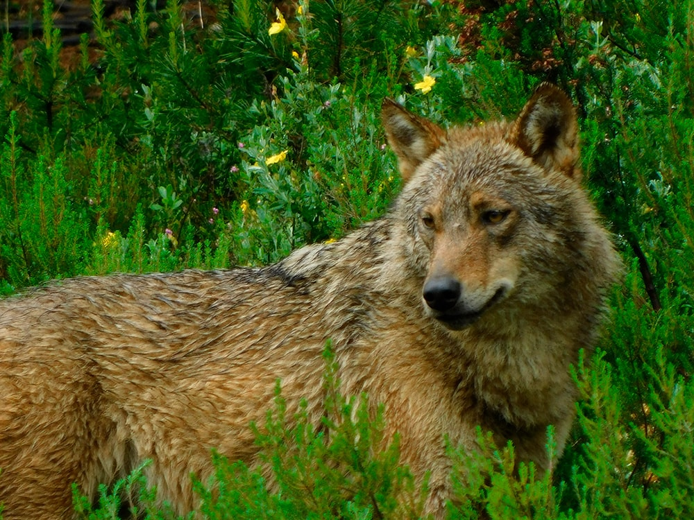 Lobo - Fundación Artemisan