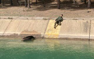 jabalí siendo rescatado en el canal del Trasvase Tajo - Segura